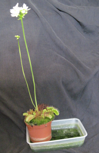 Venus fly trap